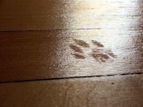 Cat's seal of inspection on refinished hardwood floor