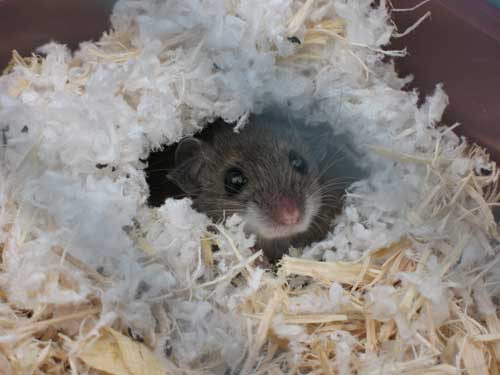 Mouse looking outside of its nest