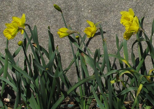 Daffodils 2008