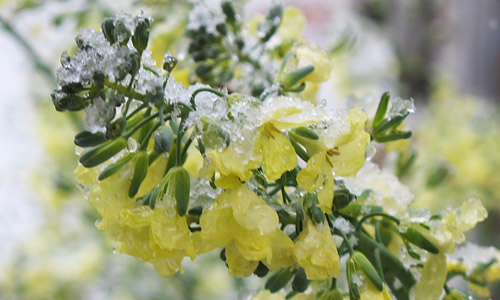 Melting snow on broccoli flowers
